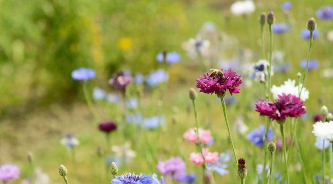 Honeybee on a purple cornflower bloom