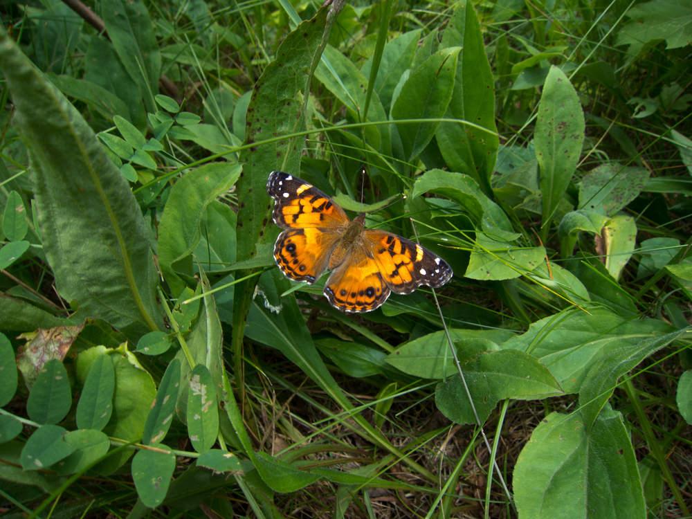 insectes papillon gazon